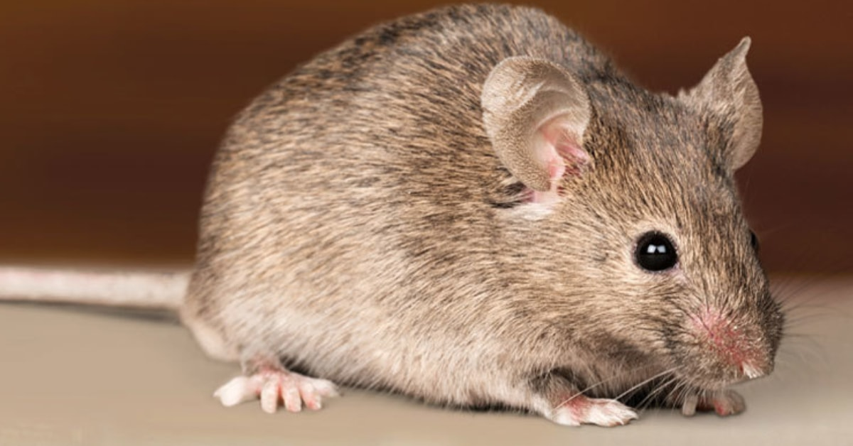 What Should I Do If My Home is Infested with Rodents?