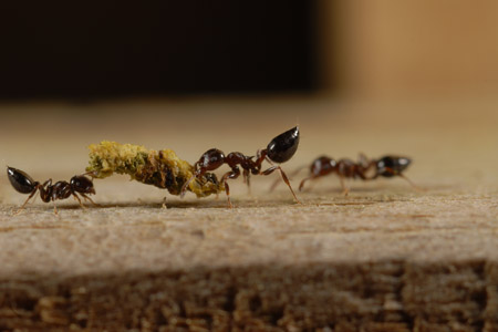 Photograph of acrobat ant number 2