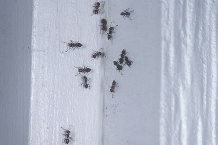 Photograph of acrobat ant number 3