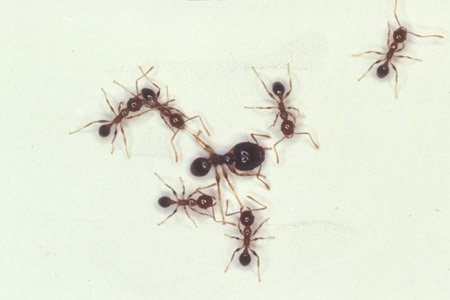 Photograph of big headed ant