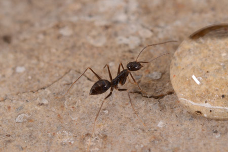 Photograph of crazy ant number 3