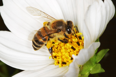 africanized-honey-bee