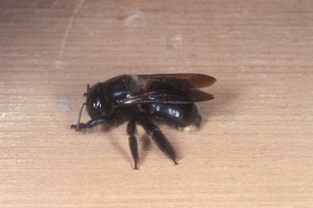 Photograph of carpenter bee