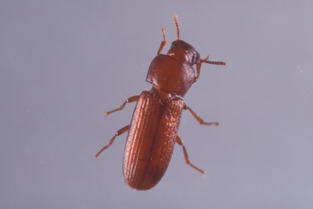 Photograph of confused flour beetle
