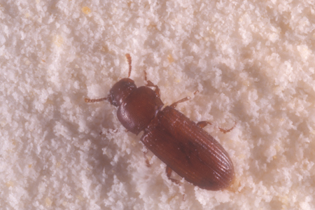 Photograph of confused flour beetle number 2