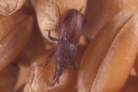 Photograph of granary weevil