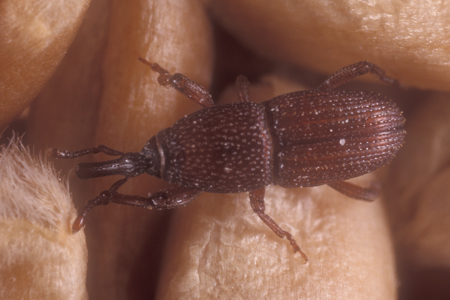 Photograph of granary weevil number 2