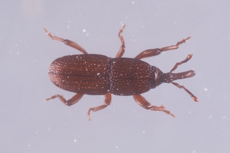 Photograph of granary weevil number 3