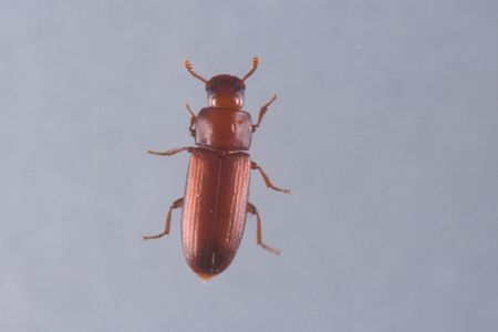 Photograph of red flour beetle number 2