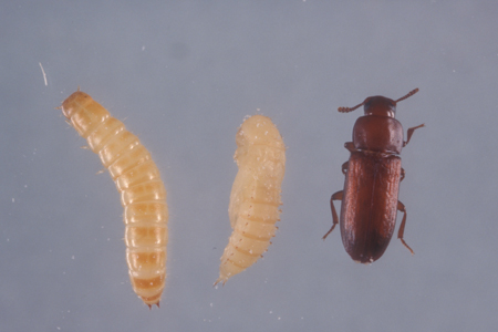 Photograph of red flour beetle number 3