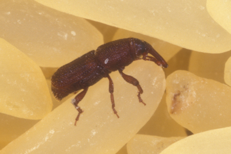 Photograph of rice weevil number 2