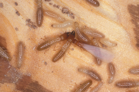 Photograph of drywood termites number 2