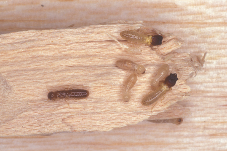 Photograph of drywood termites number 3