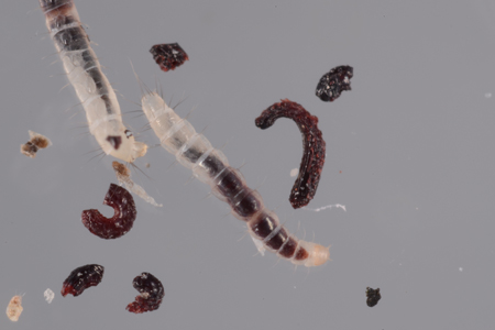 Photograph of fleas number 3