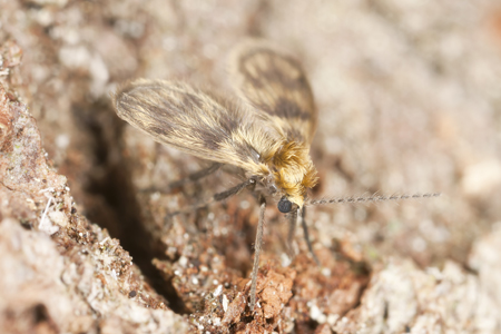Photograph of drain fly