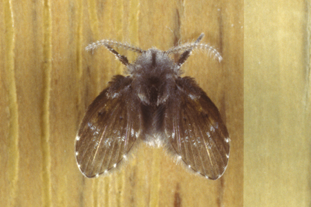 Photograph of drain fly number 2