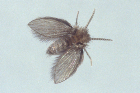 Photograph of drain fly number 3