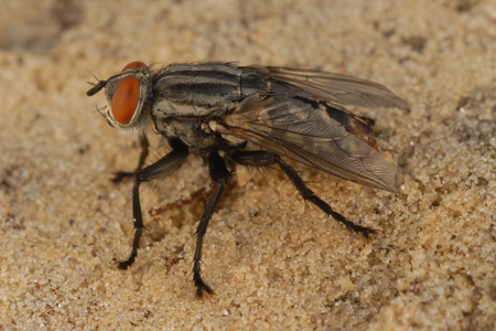 Photograph of flesh fly number 2