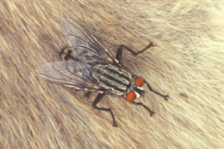 Photograph of flesh fly number 3