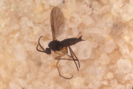 Photograph of fungus gnat number 2
