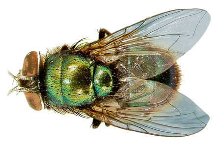 green-bottle-fly