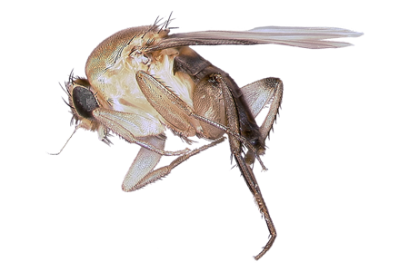 learn about phorid flies phorid fly facts hulett pest. Black Bedroom Furniture Sets. Home Design Ideas