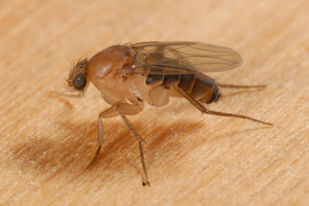 Photograph of phorid fly