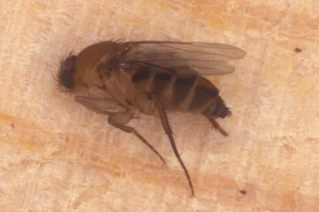 Photograph of phorid fly number 2