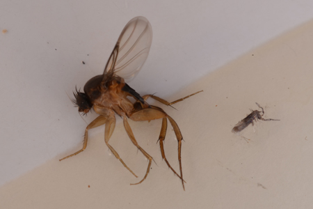 Photograph of phorid fly number 3
