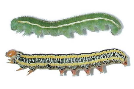 Learn About Caterpillars Caterpillar Identification Hulett Pest