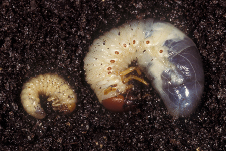Facts About Grub Worms Grub Worm Identification Hulett Pest