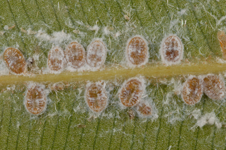Photograph of spiraling whitefly