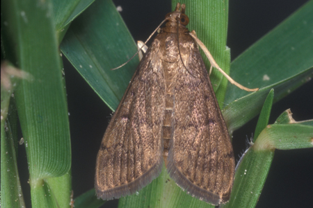 Photograph of tropical sod webworm number 3