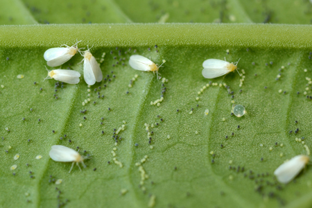 Photograph of whitefly