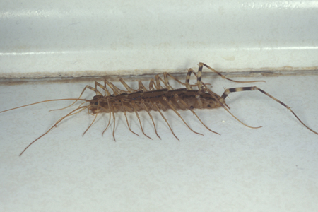 Photograph of centipede