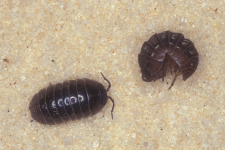 Photograph of pillbug number 2