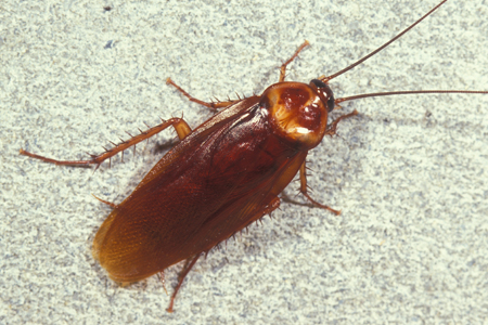 Photograph of american roach