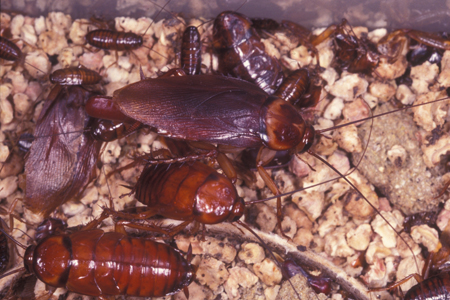 Photograph of american roach number 2