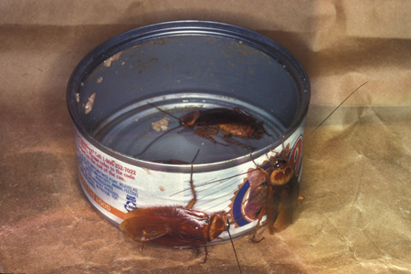 Photograph of american roach number 3