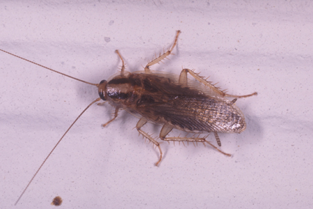 Photograph of asian roach number 2