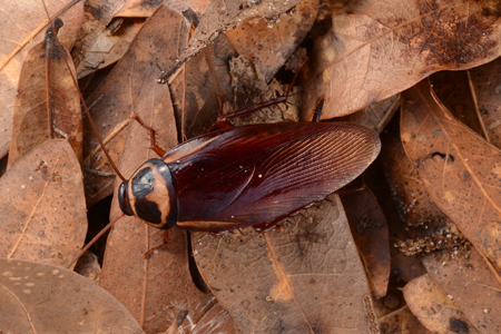 Photograph of australian roach number 2