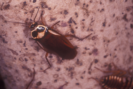 Photograph of australian roach number 3