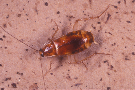Photograph of brown banded roach
