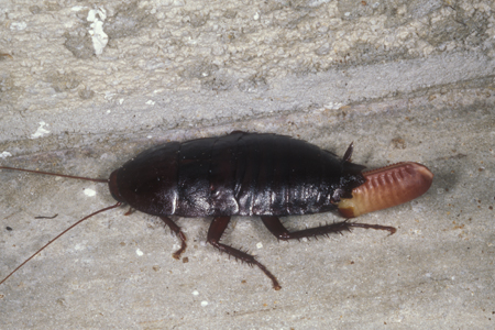 Photograph of florida woods roach number 3