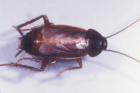 Photograph of oriental roach number 2