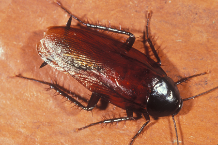 smoky-brown-roach