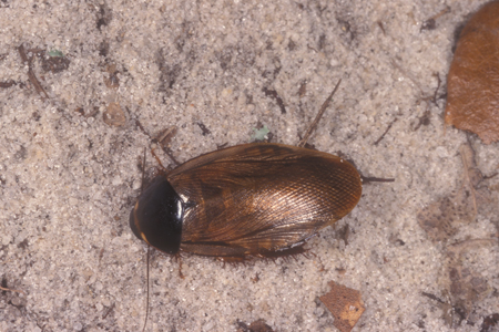 Photograph of surinam roach number 3