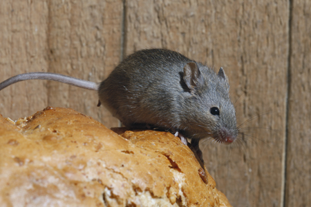 Photograph of house mouse