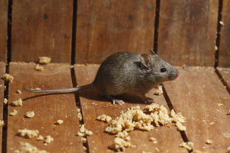 Photograph of house mouse number 2