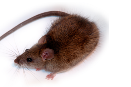 Learn About Rodents Rodent Identification Hulett Pest
